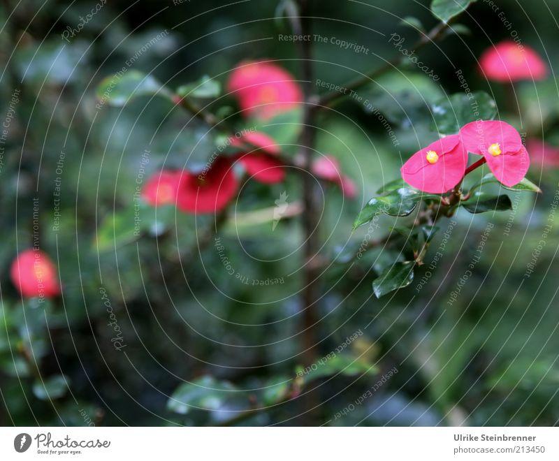 Flower Green Plant Leaf Colour Blossom Pink Growth Bushes Violet Stalk Blossoming Twig Blossom leave