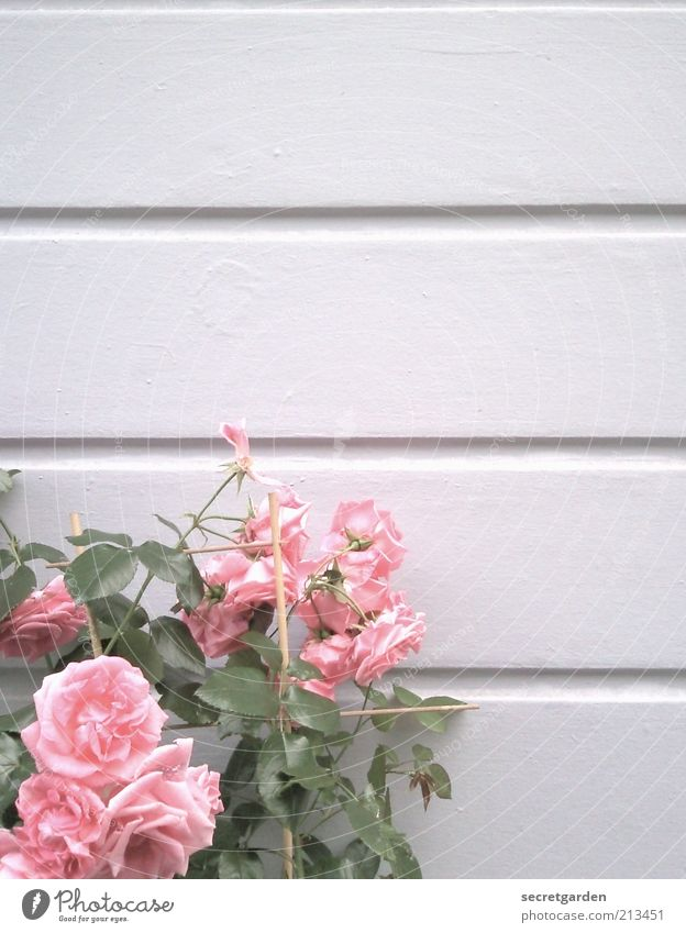 Beautiful White Flower Plant Emotions Blossom Spring Line Bright Pink Rose Growth Romance Change Transience Blossoming
