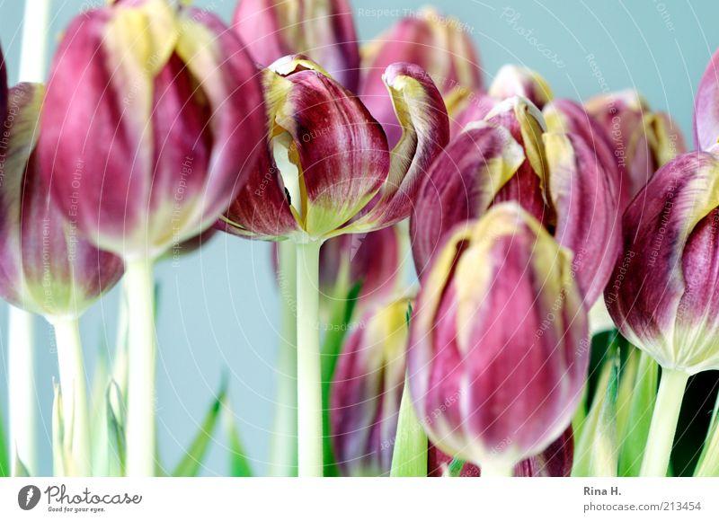 Beautiful Flower Spring Blossom Bright Art Pink Multiple Esthetic Blossoming Bouquet Still Life Tulip Blossom leave