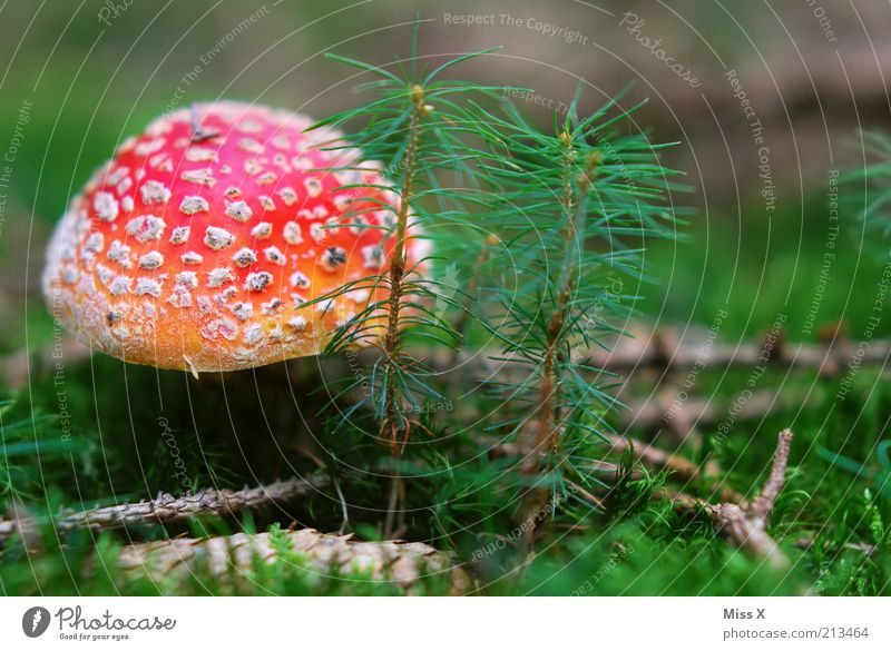 A little man Food Trip Nature Autumn Tree Grass Moss Growth Beautiful Red Dangerous Poison Edible Intoxicant Amanita mushroom Mushroom Mushroom cap Woodground