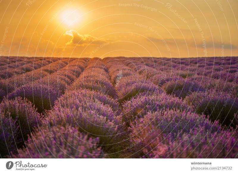 Lavender field Environment Nature Landscape Earth Sky Clouds Sun Sunrise Sunset Summer Field Multicoloured Yellow Gold Violet Warm-heartedness Together Freedom
