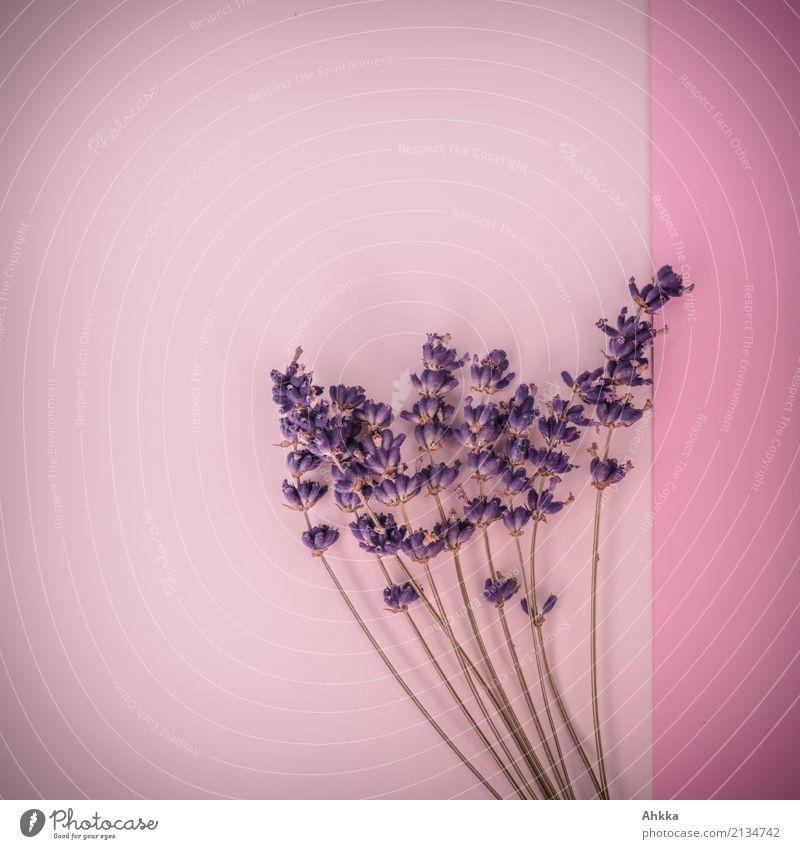 bouquet Beautiful Perfume Harmonious Fragrance Plant Lavender Blossoming Kitsch Violet Pink Joie de vivre (Vitality) Spring fever Infatuation Romance Colour