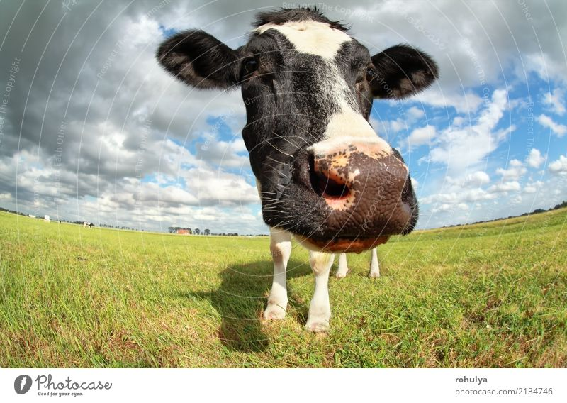funny cow head via wide angle outdoors Summer Nature Landscape Animal Sky Clouds Sunlight Beautiful weather Meadow Farm animal Cow 1 Blue Green Cattle Pasture