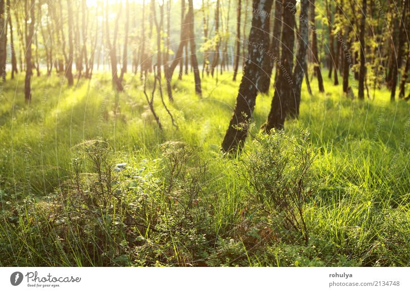 morning sunlight in green forest Summer Nature Landscape Sun Sunrise Sunset Beautiful weather Tree Grass Forest Green Serene birch sunny Vantage point scenery