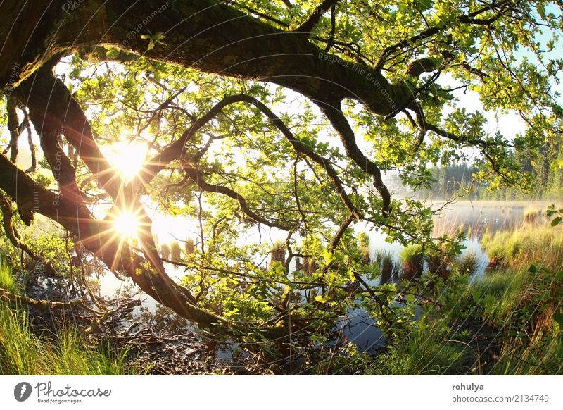 gold sun rays through oak branches and leaves Summer Sun Nature Landscape Sunrise Sunset Sunlight Spring Beautiful weather Fog Tree Leaf Forest Lake Bright Wild