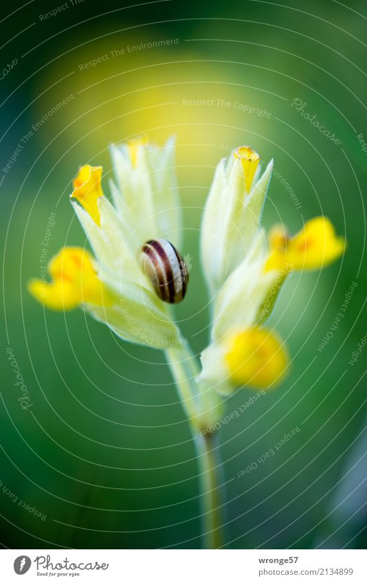 Flower with snail shell Nature Plant Animal Spring Summer Blossom Wild animal Snail 1 Small Yellow Green Natural Spring flower Snail shell Close-up