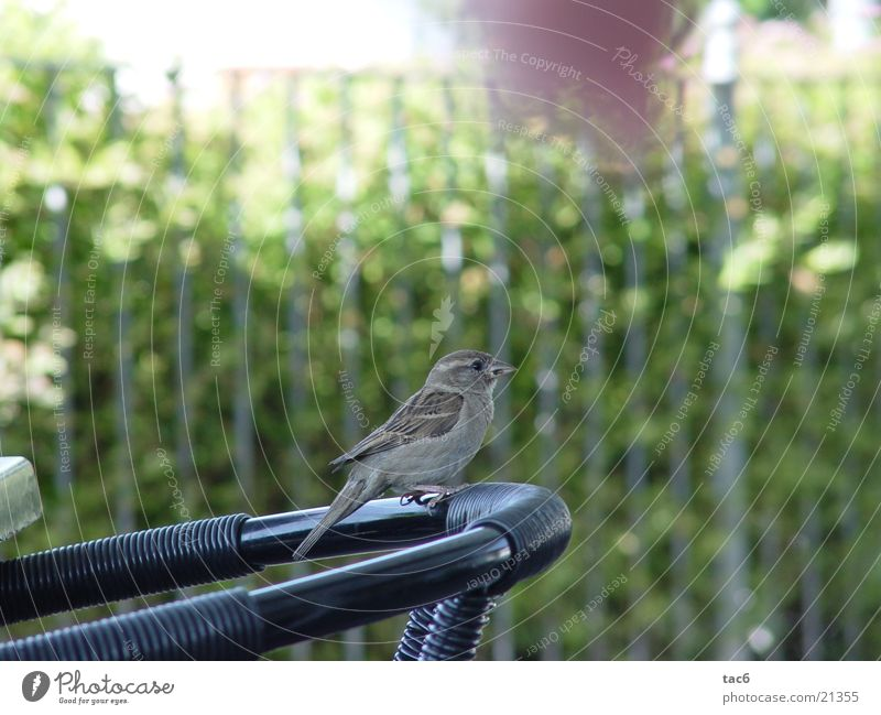 Sparrow on the chair Bird Beak Animal Transport Chair Nature Close-up Feather