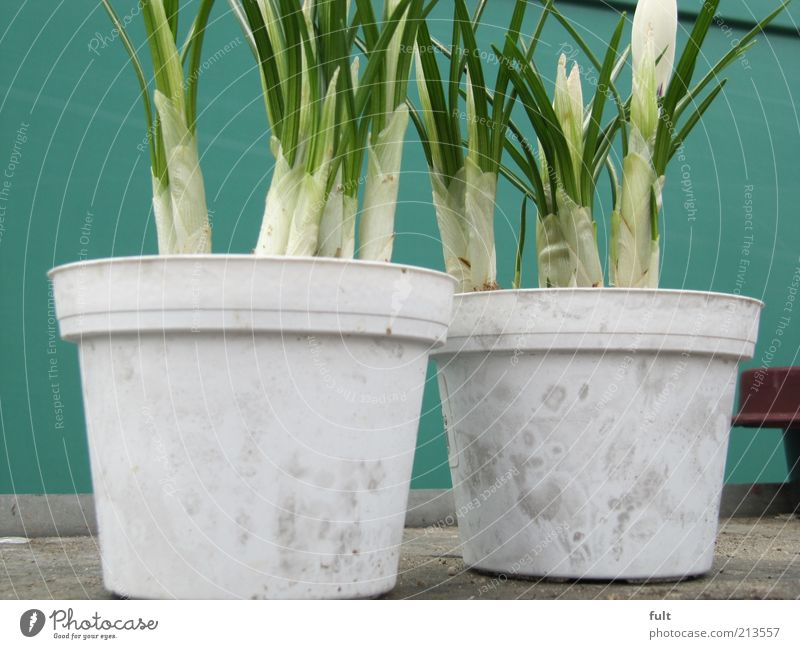 White Green Plant Spring Natural Fragrance Flowerpot Spring flower Balcony plant