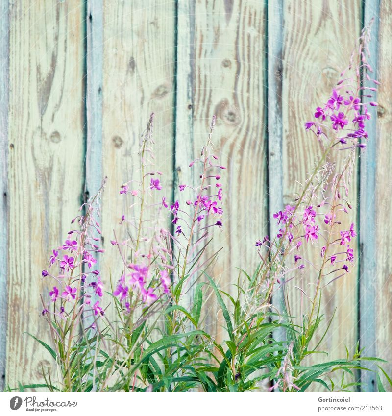 late summer Environment Nature Plant Summer Flower Blossom Beautiful Violet Pink Flowering plant Wooden wall Colour photo Exterior shot Copy Space top Deserted