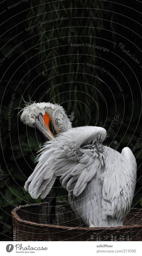 Nature Tree Plant Animal Dark Gray Bird Feather Cleaning Wild animal Beak Basket Pelican Fuzz Dark green