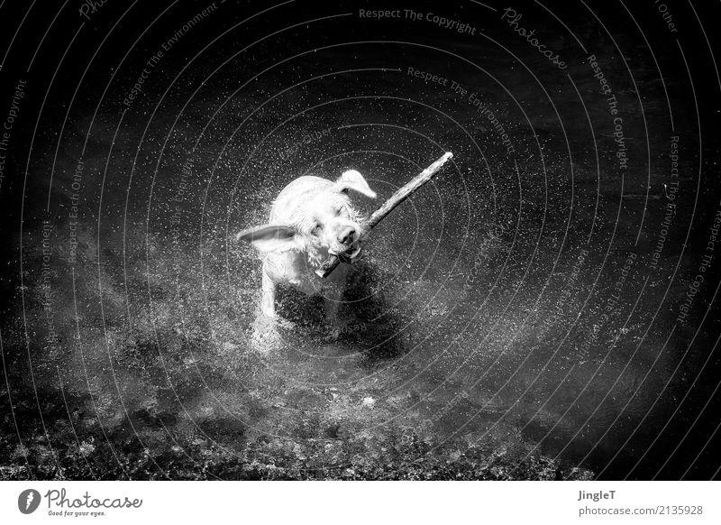 shake it, baby #grete Nature Water Drops of water Animal Pet Dog Labrador 1 Swimming & Bathing Playing Cool (slang) Black White Joy Black & white photo