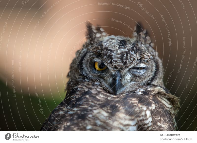 owl's eye Animal Wild animal Bird Animal face Owl birds Eagle owl 1 Baby animal Observe Fatigue Indifferent Boredom Nature Colour photo Exterior shot Close-up