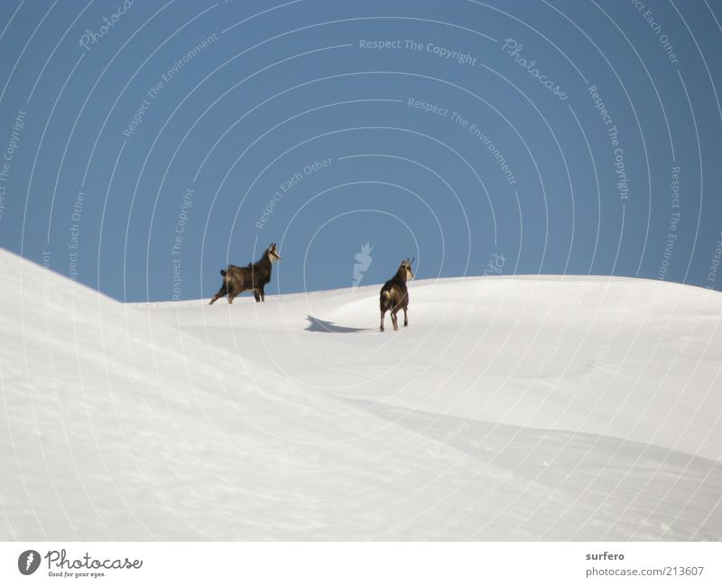 camosci delle Tofane Nature Beautiful White Blue Winter Animal Cold Snow Happy Gray Brown Tall Adventure Observe Alps Wild