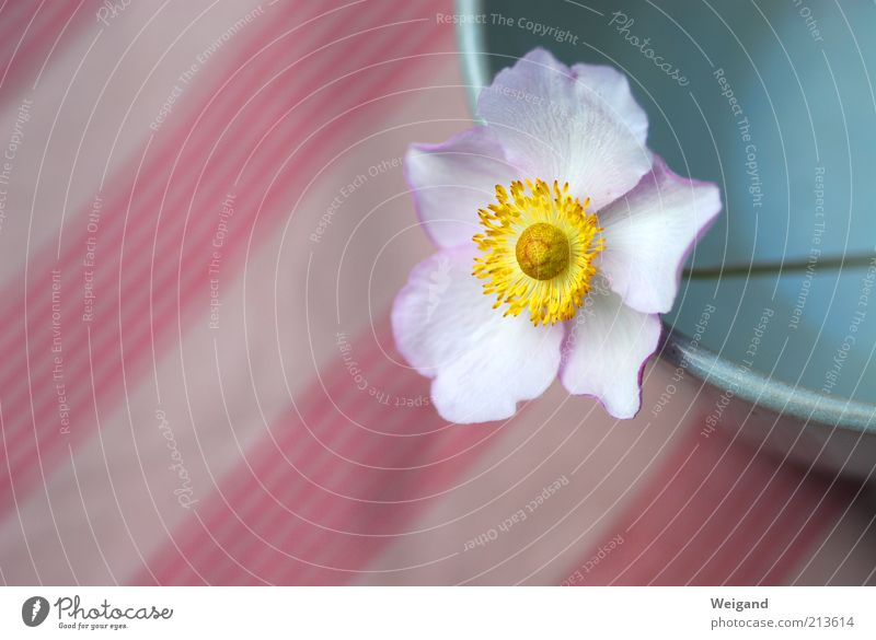 flower strips Bowl Environment Flower Stripe Calm Serene Country life Idyll Blossom Yellow Colour photo Exterior shot Copy Space left Day Shallow depth of field