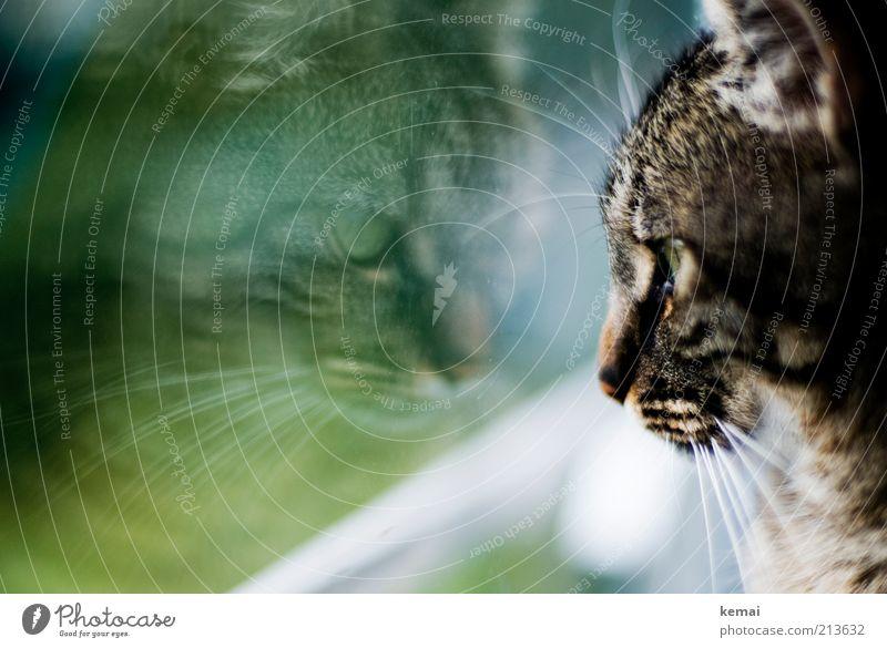 Green Eyes Animal Window Cat Animal face Pelt Boredom Window pane Pet Mirror image Reflection Love of animals