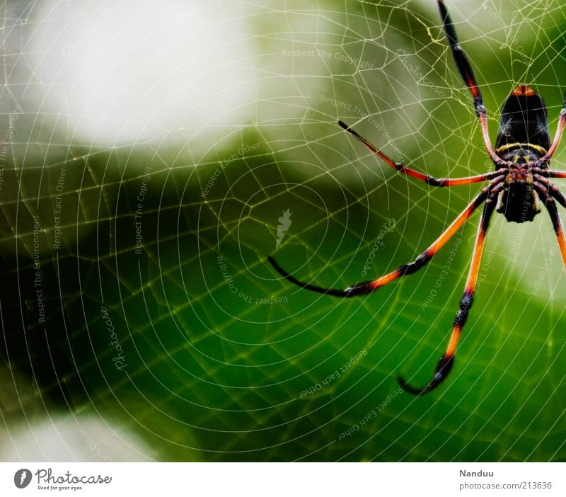 She just wants to play Nature Animal Wild animal Spider Nephila 1 Disgust Creepy Large Spider's web Seychelles Virgin forest Tropical Copy Space left