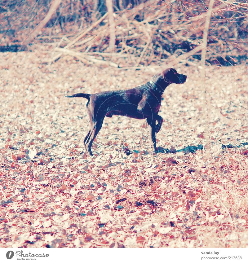 Dog Animal Autumn Stand Concentrate Listening Hunting Watchfulness Autumn leaves Pet Hunter Farm animal October Label Copy Space left Hound