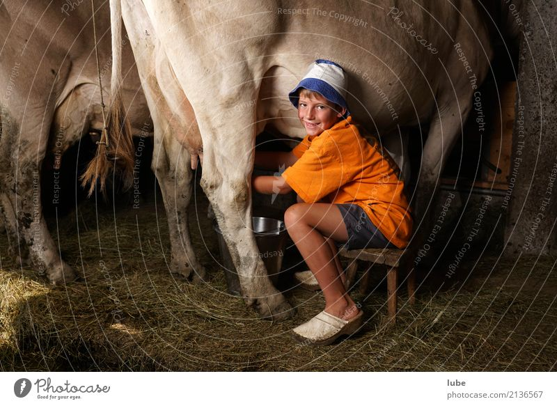 fresh milk production Cheese Dairy Products Workplace Agriculture Forestry Boy (child) Animal Cow Smiling Milk milkers Forest of Bregenz Barn cattle shed