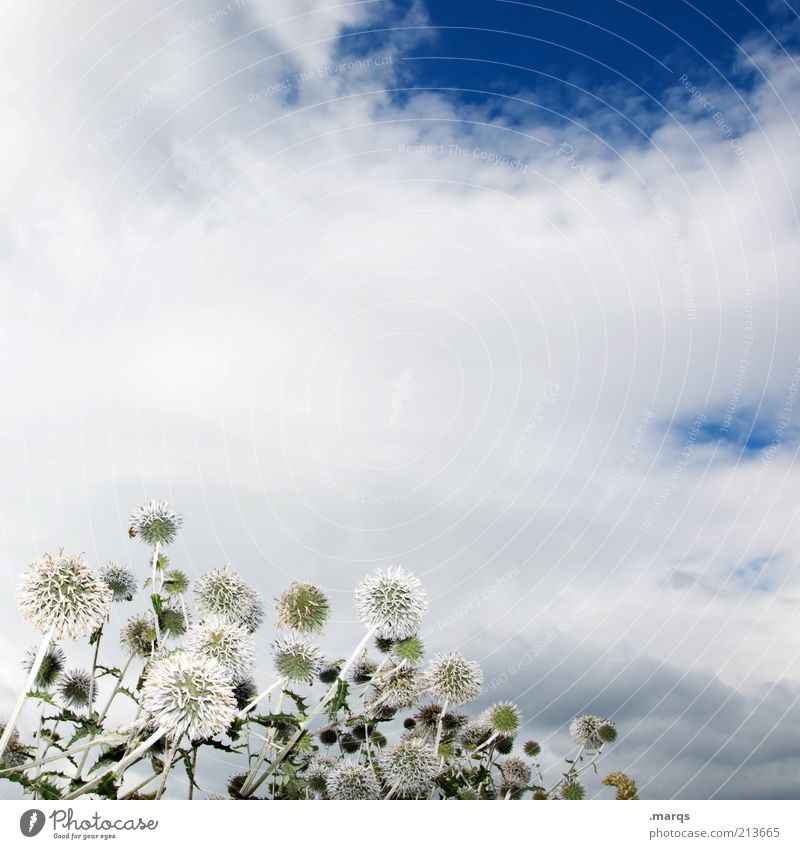 Nature Beautiful White Flower Blue Plant Clouds Emotions Moody Environment Esthetic Multiple Transience Blossoming Thistle Wild plant