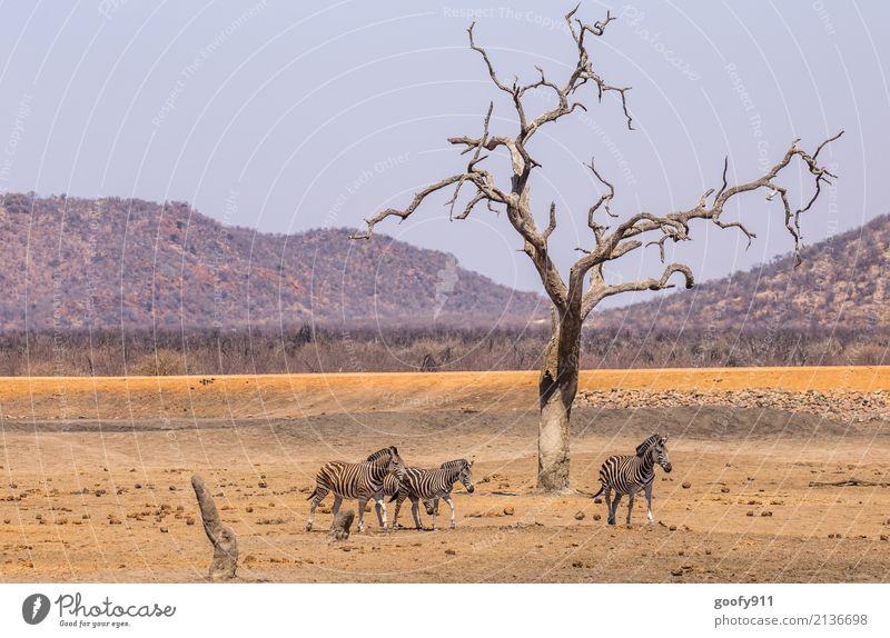 zebras Vacation & Travel Trip Adventure Freedom Safari Expedition Sun Environment Nature Landscape Earth Sand Warmth Drought Tree Hill Desert Animal Wild animal