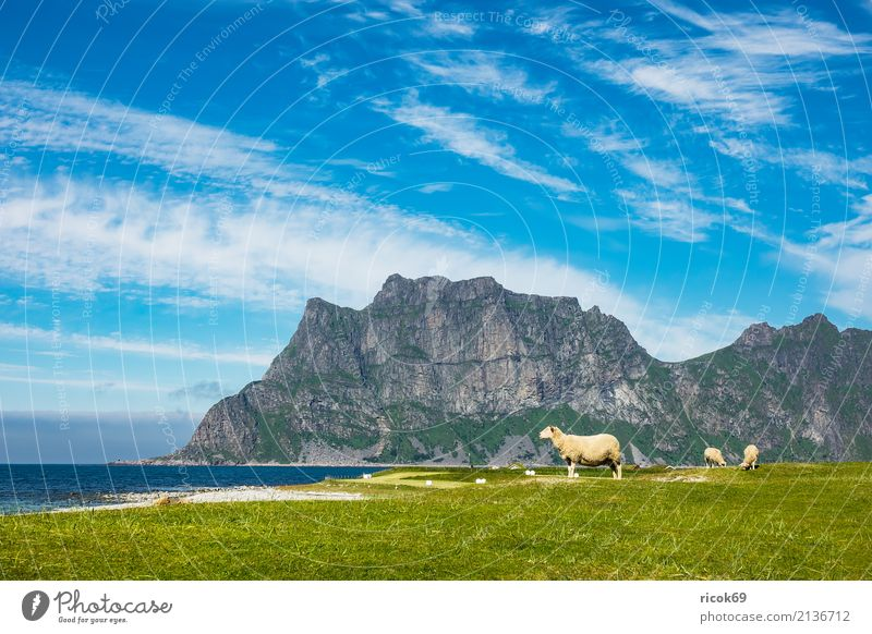 Utakleiv Beach on the Lofoten in Norway Relaxation Vacation & Travel Ocean Mountain Nature Landscape Water Clouds Grass Meadow Rock Idyll Tourism Environment