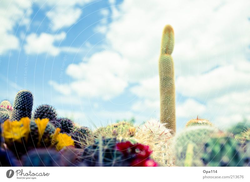 My little green cactus Plant Sky Clouds Summer Beautiful weather Cactus Foliage plant Exotic Garden Blossoming Esthetic Thorny Blue Yellow Gold Green Red White