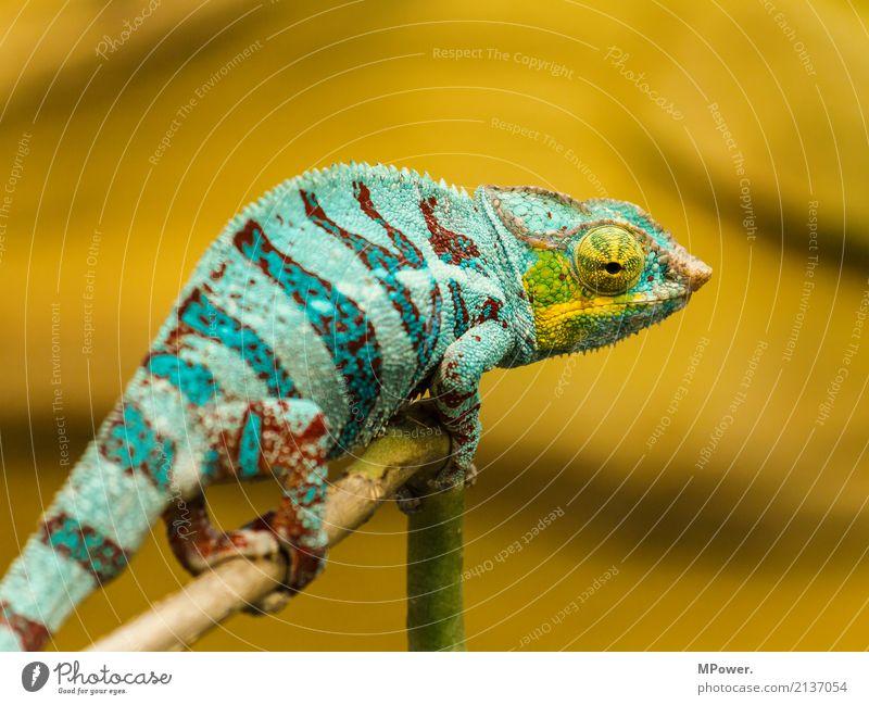Take a look around Nature Animal Zoo 1 Crawl Exotic Fantastic Beautiful Chameleon Turquoise Eyes Calm Reptiles Orange Still Life Colour photo Multicoloured