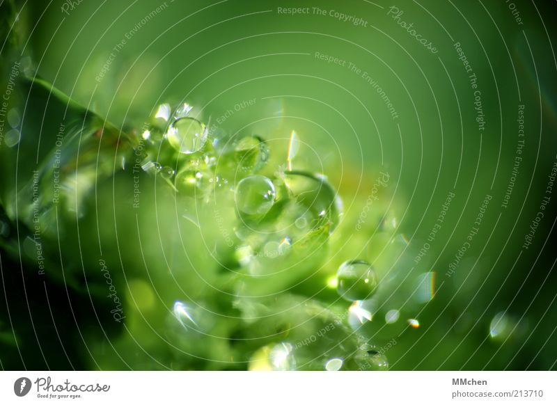 universe Nature Water Drops of water Plant Wild plant Illuminate Fresh Green Dew Sphere Colour photo Exterior shot Macro (Extreme close-up) Copy Space right