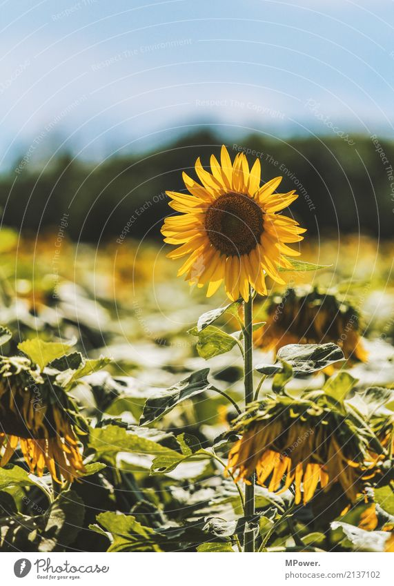 sunflower Beautiful weather Plant Tree Leaf Blossom Field Yellow Sunflower Sunflower field Unwavering Colour photo Exterior shot Deserted Copy Space top