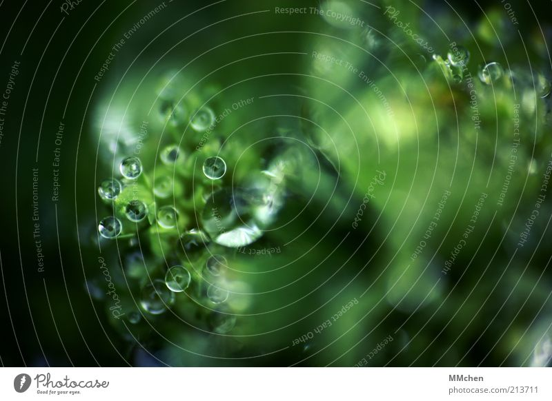 we see you Nature Water Drops of water Plant Wild plant Illuminate Fresh Green Dew Sphere Colour photo Exterior shot Macro (Extreme close-up) Copy Space right