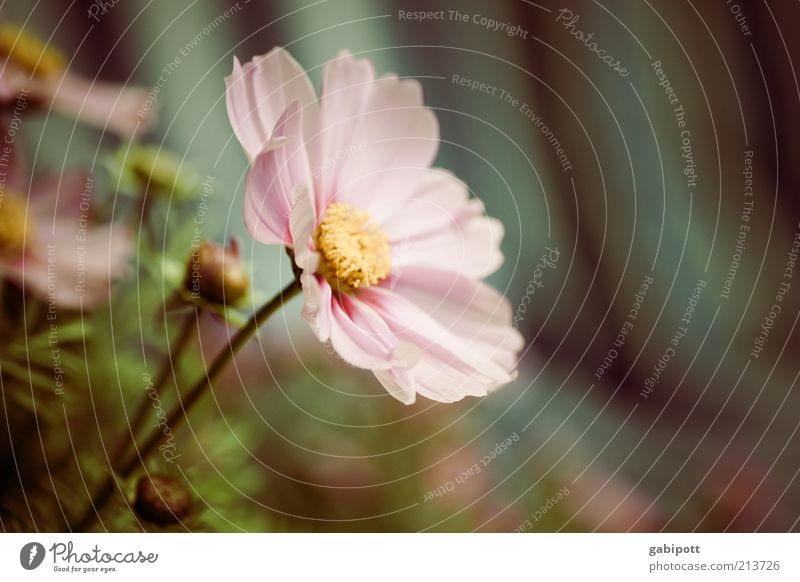 Gardening Part3 Environment Nature Plant Flower Blossom Cosmos Fragrance Beautiful Pink Spring fever Sympathy Romance Idyll Ease Sustainability Subdued colour