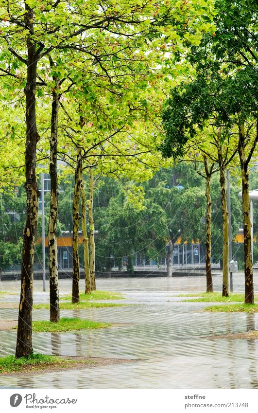 Tree Spring Rain Wet Places Footpath Avenue Nature Birch tree