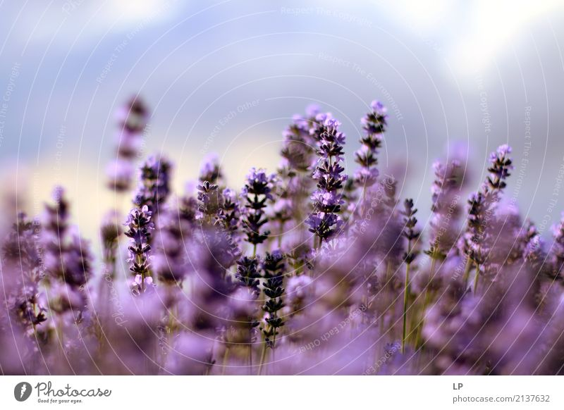 Lavender at sunrise Nature Vacation & Travel Plant Colour Relaxation Calm Joy Life Lifestyle Healthy Emotions Background picture Garden Moody