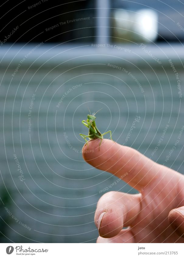under observation... Hand Fingers Animal Insect Praying mantis Locust Esthetic Green Trust Safety (feeling of) Contentment Cleaning Touch Sit Love of animals