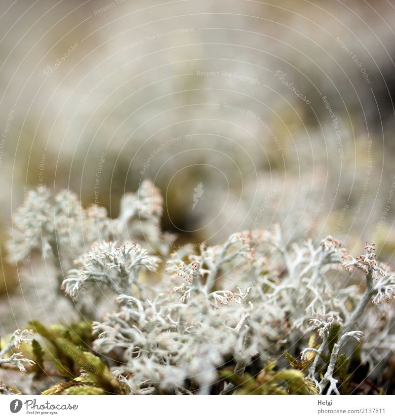 reindeer moss Environment Nature Plant Summer Wild plant Lichen Forest Woodground Stand Growth Exceptional Uniqueness Small Natural Brown Gray Green White