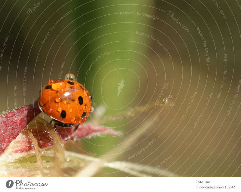 lucky beetle Environment Nature Plant Animal Elements Water Drops of water Summer Wild animal Beetle 1 Bright Wet Natural Green Red Black Crawl Ladybird