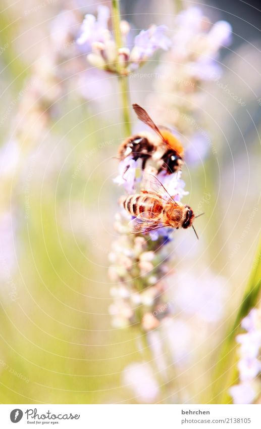 in twos Nature Plant Animal Summer Beautiful weather Flower Grass Leaf Blossom Lavender Garden Park Meadow Wild animal Bee Animal face Wing Bumble bee Eyes 2