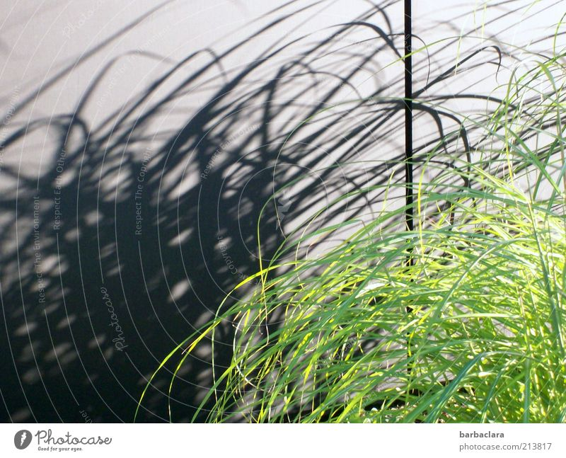 Green Black Wall (building) Grass Movement Wall (barrier) Line Elegant Fresh Growth Wild Natural Bizarre Chaos Ease Shadow play