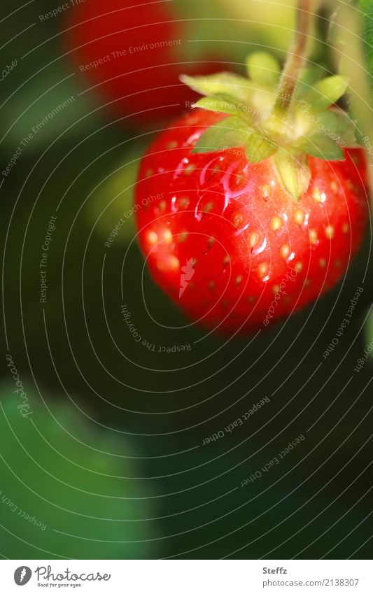 red juicy strawberry ripened in the sun red strawberry garden strawberry Fragaria Fruit fruit Seasonal fruit Garden fruit summer fruit Edible popular