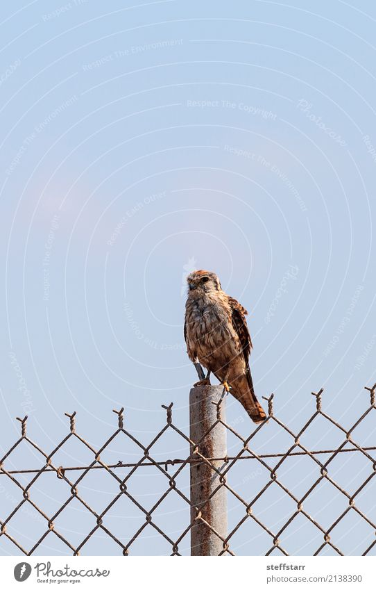 Merlin Falco columbarius bird of prey Nature Park Animal Wild animal Bird 1 Sit Brown Falcon Bird of prey pigeon hawk Bolsa Chica Huntington Beach avian