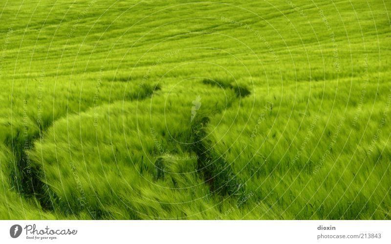 Nature Green Plant Far-off places Grass Landscape Field Food Wind Environment Growth Grain Tracks Organic farming Cornfield Rye