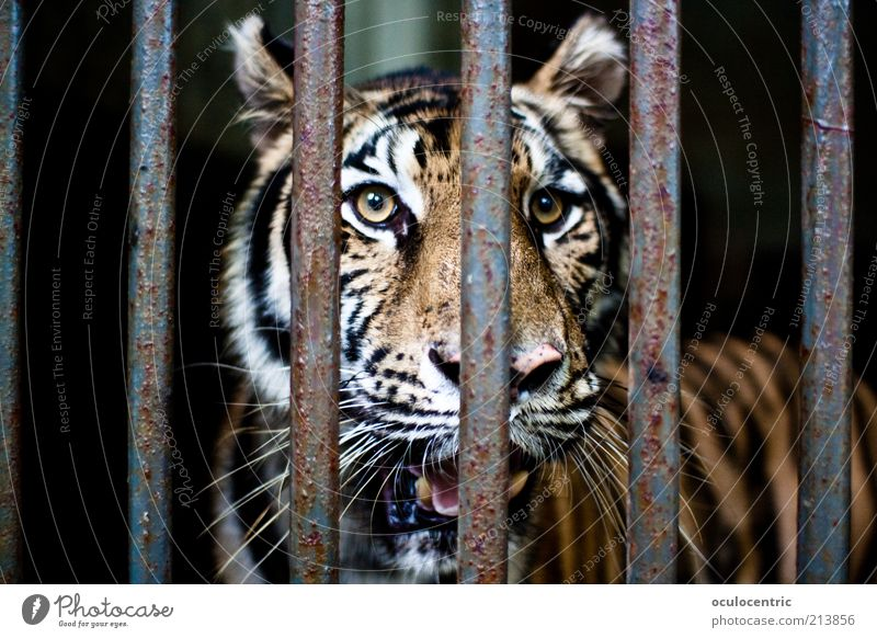 Old Beautiful Animal Yellow Mouth Power Dirty Gold Glittering Gloomy Threat Authentic Longing Near Observe Zoo