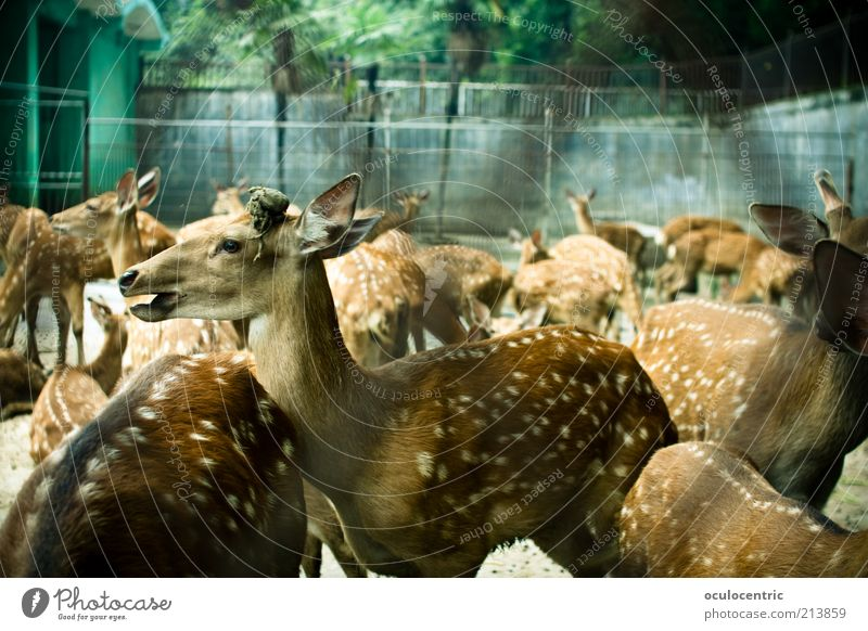 Bambi and the Fawn Gang Animal Pelt Zoo Roe deer Deer Group of animals Herd Old Beautiful Captured Closed Speckled Cage Colour photo Exterior shot Experimental