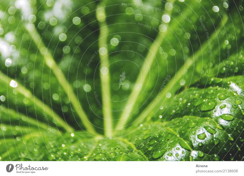 funnel Plant Drops of water Beautiful weather Leaf Foliage plant Network Swimming & Bathing Cleaning Fresh Large Wet Natural Round Yellow Green Cleanliness
