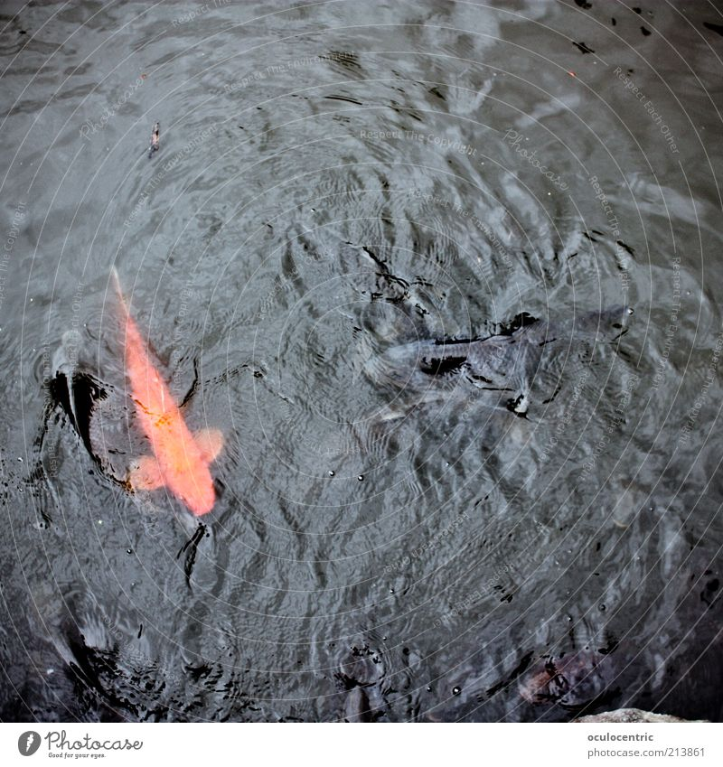 Orange Waves Fish Uniqueness Wild Exceptional Illuminate Japan Pond Noble Animal Asia Water Bird's-eye view Section of image Tokyo