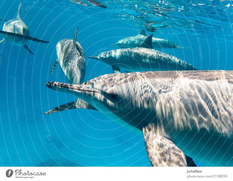 School Spinner Dolphins Water Animal Ocean be afloat spinner dolphin Red Sea Egypt Dive Snorkeling Wild animal Free-living Underwater photo Multiple