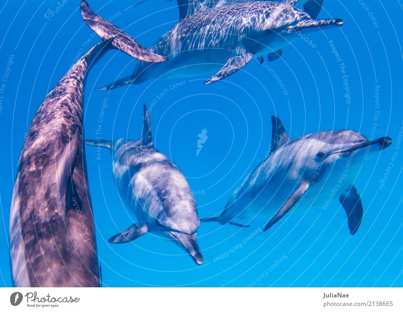Spinner dolphins swimming towards me Ocean Dive Animal Water Reef Coral reef Group of animals Swimming & Bathing Dolphin be afloat spinner dolphin Red Sea Egypt