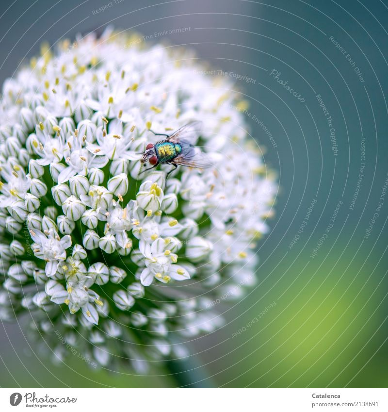 Hard disk | Festive board for blowflies Nature Plant Animal Summer Blossom Agricultural crop Leek leek blossom Garden Fly Blowfly 1 Blossoming Fragrance Flying