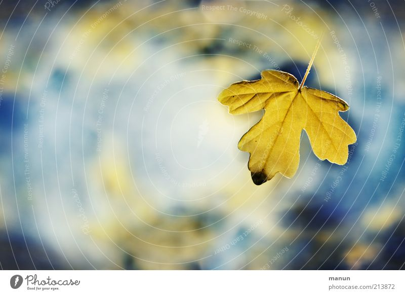 the very last Nature Water Sky Autumn Leaf Maple leaf Autumn leaves Autumnal Autumnal colours Illuminate Exceptional Fantastic Fresh Beautiful Blue Yellow End
