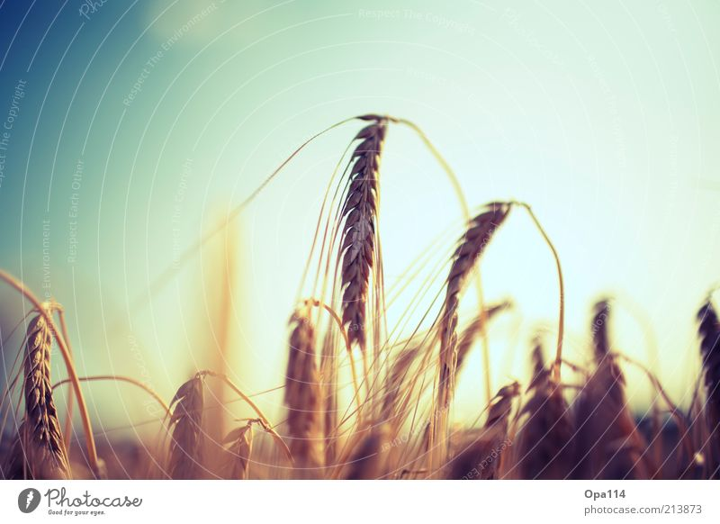 Nature Sky Blue Plant Summer Landscape Brown Bright Field Environment Gold Growth Blossoming Agriculture Beautiful weather Wheat